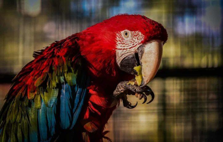 Can Parrots Eat Apples Parrot Website