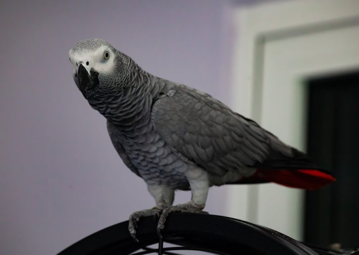 Do African Grey Parrots Make Good Pets Parrot Website